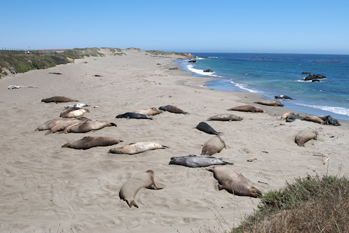 big_sur_elephant_seals