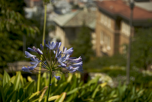 sf_flower_presidio_hill