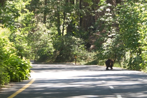 yosemite black bear on road