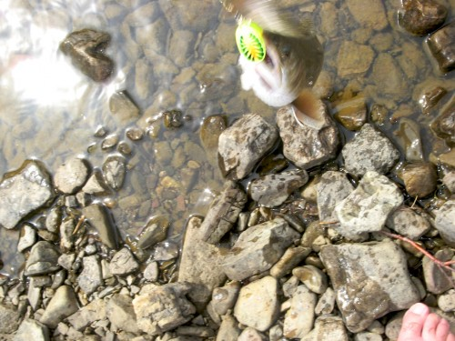 swiftcurrent_trout-dangling