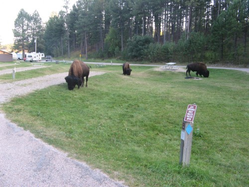legion-lake_campground-bison