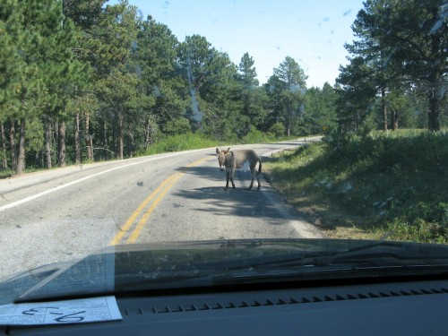 norbeck-byway_wild-donkey