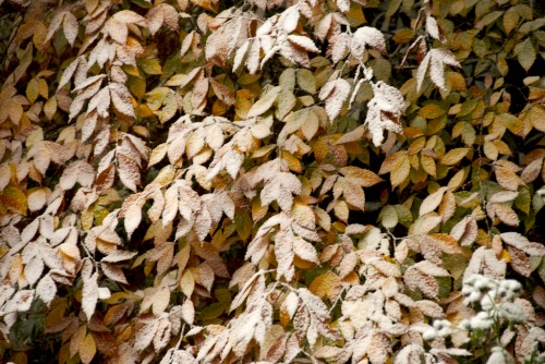 blue-ridge_snow-on-leaves