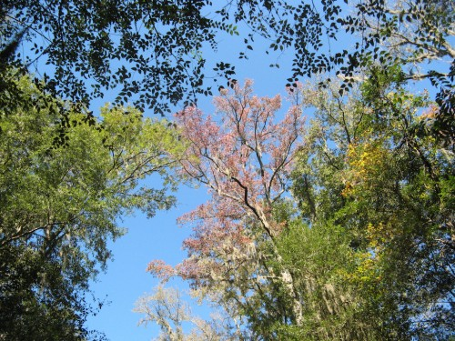 congaree_tree-canopy