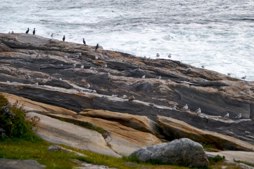 pemaquid_birds