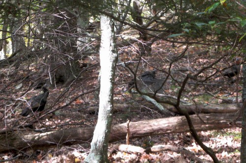 shenandoah_white-oak-turkeys