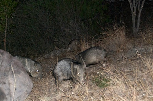 big-bend_javelina-band