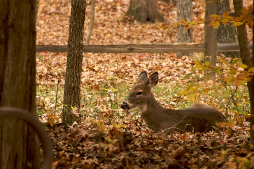 mammoth-cave_deer-in-leaves