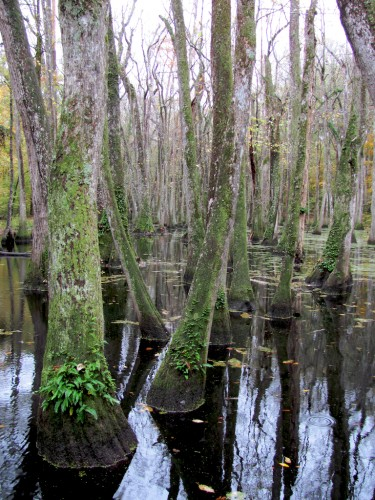 natchez-trace_swamp-trees
